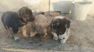 продажа щенков алабая в Кыргызстан: Щенки Алабая 1 месяц остались только девочки