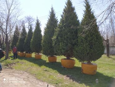 Товары для праздников - Кыргызстан: Продаётся Кипарис 5-6-7 метровый. Про-ся!!! Голубая ель, Пихта