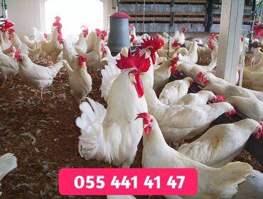 3263 elan | KƏND TƏSƏRRÜFATI HEYVANLARI: Dünyada ən çox yumurta rekordçusu olan Liqorin toyuqlarının 1 yaşında