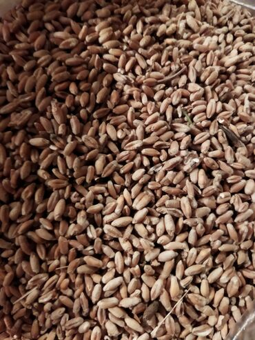 9401 объявлений: Тритикаль на семена хороший крупный