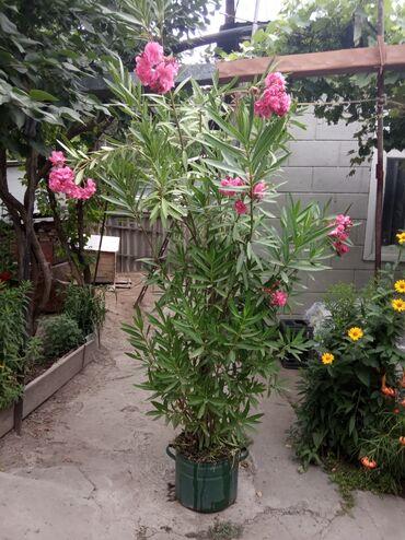 Китайская роза. Молодая,всего три года.Продолжительность жизни-более