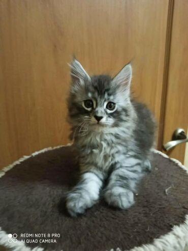 Продаются чудесные котята породы мейн-кун2месяца. К лотку приучены
