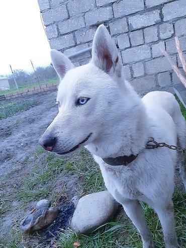dog - Azərbaycan: İtlər