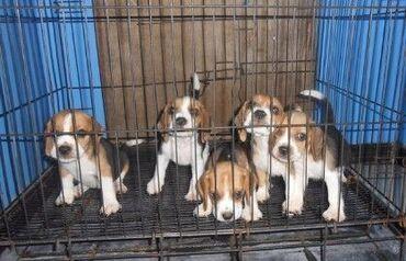 Štene i psi beagleNevjerovatno smeće Beagle koje zauvijek prikazuje