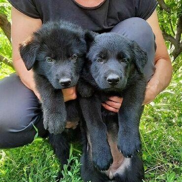 Продам перспективных щенков восточноевропейской овчарки. дата рождени