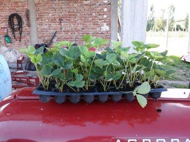 Kontejnerske sadnice jagoda Albe i Azije  - Sopot
