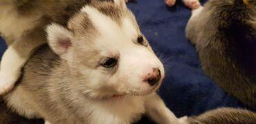 Όμορφα και θαυμάσια κουτάβια Σιβηρίας Husky διαθέσιμα για να κυκλοφορή