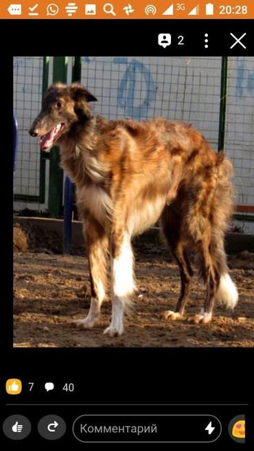 Русские псовые борзые ..... щенки из в Бишкек