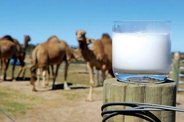 Дом и сад - Ак-Джол: Тоонун суту Верблюжье молоко  Свежее парное молоко!!