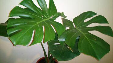 Filadendron, Veliki, Krupan List, 85 centimetara visina sa saksijom