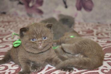 Продаются котята,2 мальчика страйт мама Шотландская Вислоухая