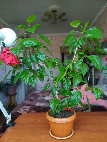 Комнатные растения - Беловодское: Розы