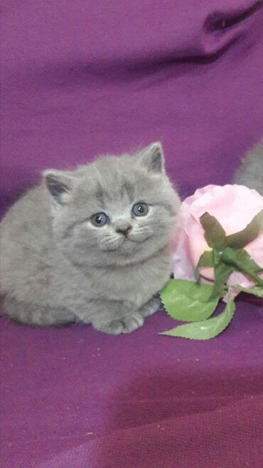 Открыта бронь на британских котят голубого и лилового окрасов.  На мом