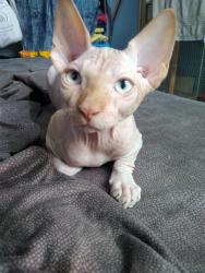 Three Canadian Sphynx are looking for lovest hosts. σε Athens