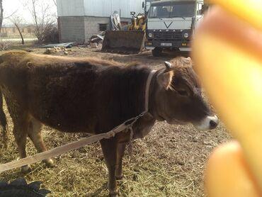 Продаю | Корова (самка) | Полукровка | Для молока