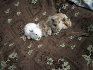 Декоративные кролики в Бишкек