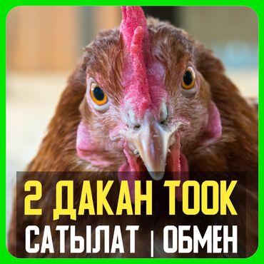 Животные - Маевка: ДАКАН ТООКТОР САТЫЛАТ   ТАЗА КАНДУУ Баасы арзан - Болгону 1000 сом•