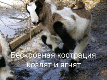 Бескровная кострация козлят и ягнят с выездом на дом... в Бишкек