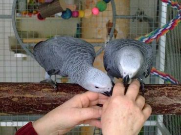 Available African Grey Parrots For Sale - Beograd