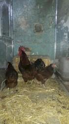 yumurtlayan toyuq satilir - Azərbaycan: Rhode island toyuqlarının mayalı yumurtaları satılır. Amerika cinsidi