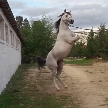 at-satiwi - Azərbaycan: Salam satdig cins atlar var