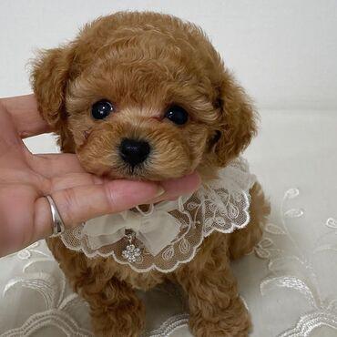 Tea cup poodle Princess of my kingdom lol I'm brave I got the toss