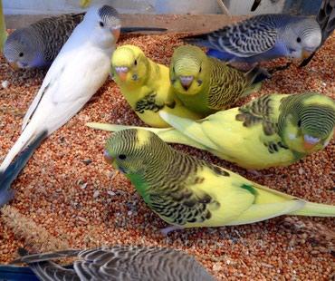 Продаю волнистых попугаев  в Бишкек