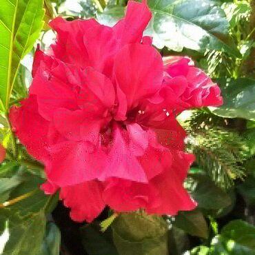 Otaq bitkiləri Xırdalanda: Kitaysko roza satılır