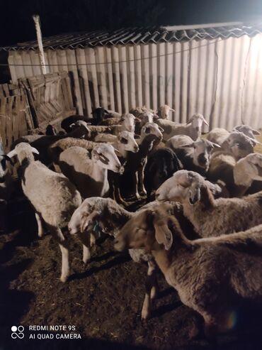 Животные - Аламедин (ГЭС-2): Продаю оптом баранов