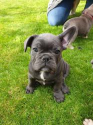 French Bulldog available for sale  σε Amorgos