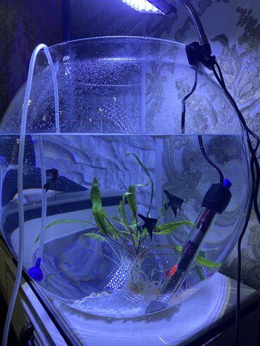 Аквариумы - Кыргызстан: Продаём круглый аквариум на 50 литров . Очень красиво смотрится впиш