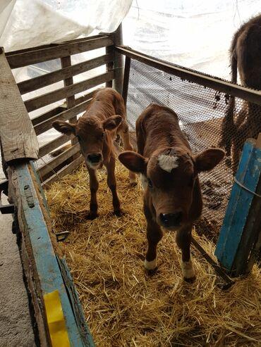 Продаю бычка и тёлачку молочные цина за двоих 45000