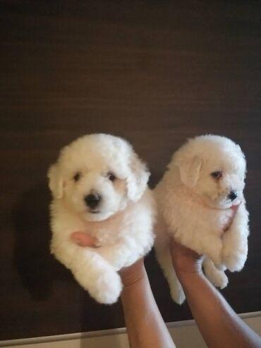 Na prodaju prelepi štenci BISCHONA, oba pola. Štenci su vakcinisani I