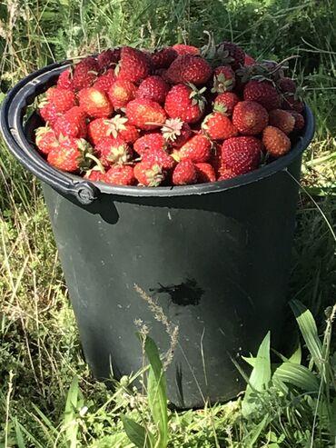 Семена и уличные растения - Кара-Балта: Продаю клубнику со своего огорода,без целитры,без всяких добавок,ведро