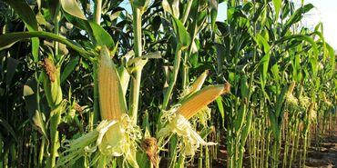 9401 объявлений: Кукуруза