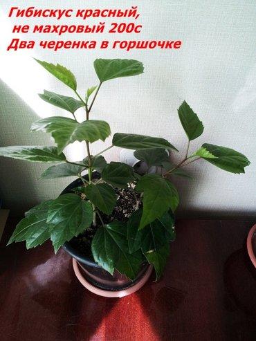 Продаю комнатные растения от 150 с до 300 с  Растения выращены в в Бишкек - фото 3