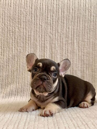 French bulldog PuppiesAwesome French bulldog Puppies Available for