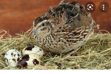 164 объявлений   ЖИВОТНЫЕ: Продаю перепелки 48штук для мясо живое а также несут яицо 31штук в