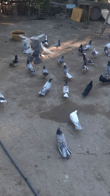 ebres - Azərbaycan: Ebres qarabasar ag bas ag bas lar ebreslerden cixma