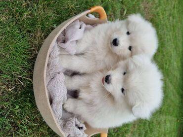Γεια σας πουλάμε όμορφο κοριτσάκι samoyed. Όλος ο εμβολιασμός πλήρης