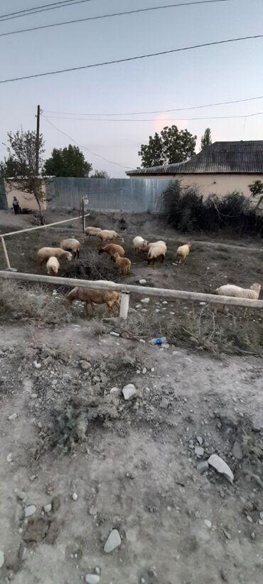 Tz dogulmuslar uecuen qoyun drisindn konvertlr - Azərbaycan: Qoyun satıram 11 qoyun 1 qoç 1 quzu cəmi 13 ədəd 2000 azn