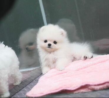Διαθέσιμα καθαρόαιμα Pomeranian κουτάβια Τα κουτάβια Pomeranian είναι