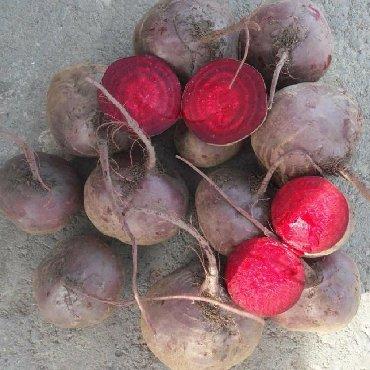 продажа семена в Кыргызстан: Продаю урук семена красной свеклы свёкла свекл сорт бордо пабло за кг
