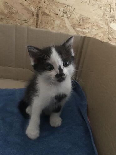 Животные - Новопавловка: Отдаём котят в хорошие руки Котятам чуть больше месяца