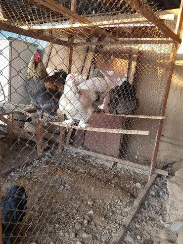 рубщик мяса в Кыргызстан: Продаю   Куры   Брама