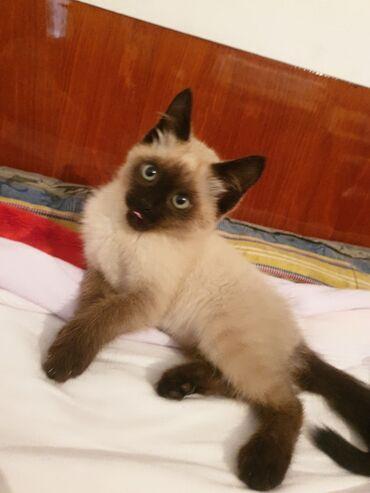 Коты - Беловодское: Тайская кошка(Симба),очень умная в туалет ходит умеет,быстро учиться к