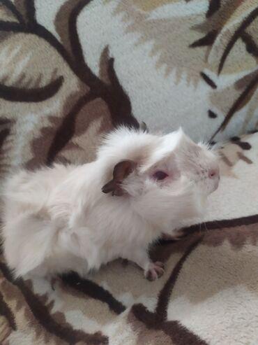 Морские свинки - Кыргызстан: Срочно Продаю морскую свинку девочку очень любит морковку добрая не к