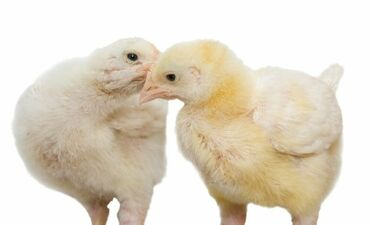 Животные - Новопокровка: Цыплята бройлеры