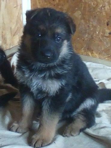 Продаются породные щенки немецкой в Шопоков
