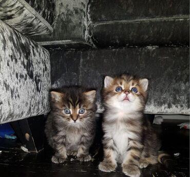 Γάτες και γατάκια της Σιβηρίας προς πώλησηΈχω μια πολύ γλυκιά απαλή